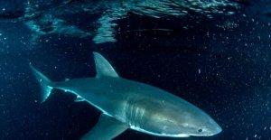 Virus calló océanos ventana abierta para la Semana del Tiburón investigadores