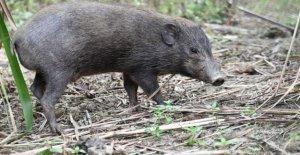Virus de bloqueo de seguridad para los más pequeños del mundo y el más raro cerdos salvajes