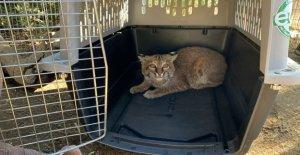 Gato de monte quemado, en California, El Dorado, el fuego volvió a la vida salvaje