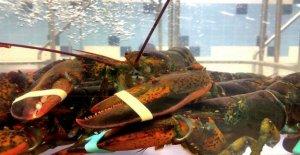 Hombre acusado de sofocar lob 10k en langostas en Cape Cod seafood market