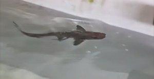 El tiburón sabueso bebé podría ser el primer caso confirmado de reproducción asexual en especies