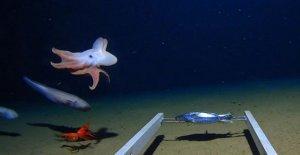 Más profunda del mundo pulpo capturado en cámara