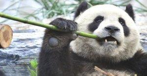 Otros mamíferos de perder en la conservación del panda de la unidad de